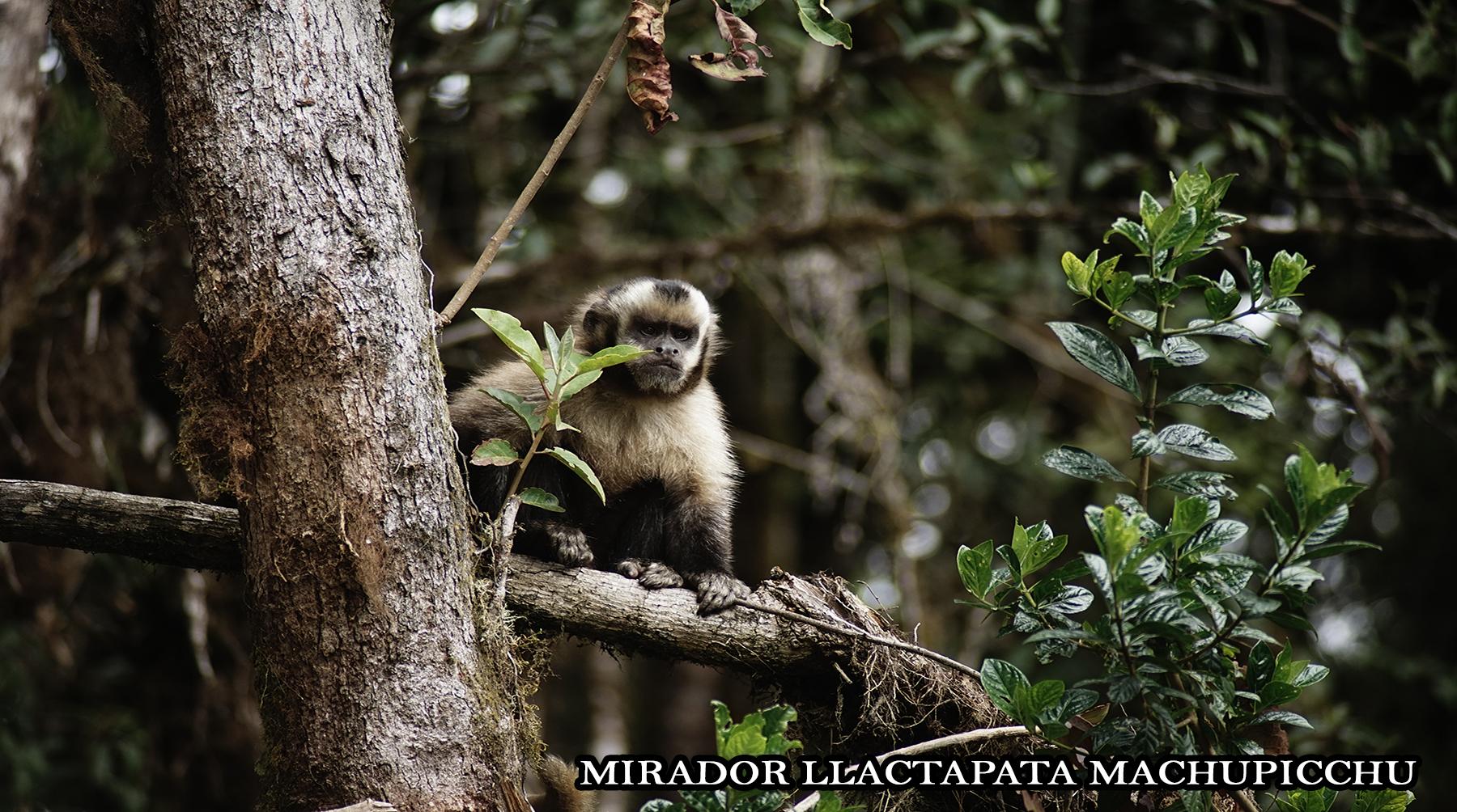 mono capuchino llactapata machu picchu